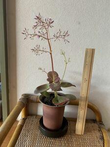 カランコエ・ベンケイ草・多肉植物 ★小さなピンク花★赤葉サボテン★現品