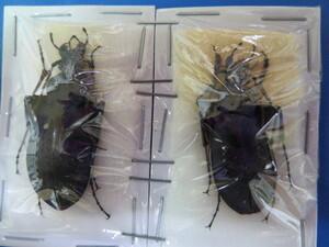 大特価! 学術昆虫標本 オオオサムシ 淡路島産 2頭セット