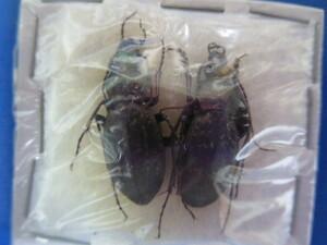 大特価! 学術昆虫標本 ヒメオサムシ 徳島県産 2頭セット