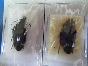 大特価! 学術昆虫標本 クロナガオサムシ 山梨県産 2頭セット