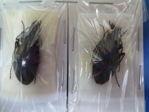 大特価! 学術昆虫標本 エゾクロナガオサムシ 北海道産 2頭セット
