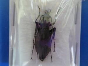大特価! 学術昆虫標本 チチブクロナガオサムシ 山梨県産