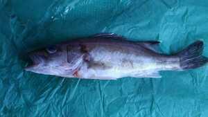 (魚)本アラ1本24cm「希少魚」