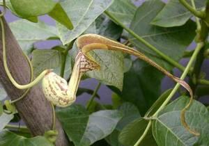 ■食虫植物 種子■ アリストロキア・ポウリスタナ