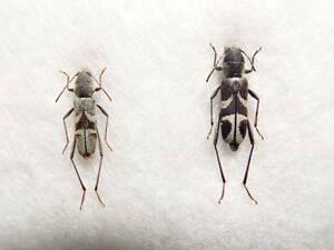 ●●チュウジョウトラカミキリpair 石垣島●日本産 国産 昆虫 甲虫 虫 玉虫 蟲 カミキリ カミキリムシ 自然科学 自然 博物学 学術標本 標本
