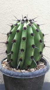 Neoraimondia arequipensis ネオライモンディア属 土星冠 豪刺種 南米原産 送料無料! 激レアサボテン 国内流出なし 大サイズ