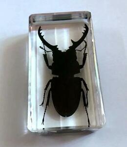 昆虫標本 クワガタムシのオス