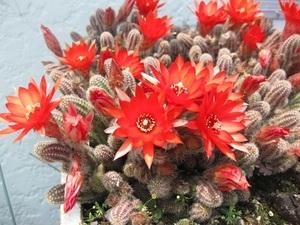 多肉植物 サボテン 白檀 オレンジの花 根付苗 鉢サイズ直径10㎝
