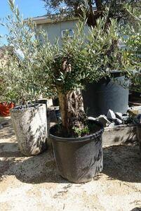 ..~100 год предмет! старый дерево оливковый! самовывоз! веранда сад тоже! бонсай импорт символ tree