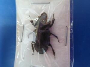 大特価! 学術昆虫標本 タイワンネブトクワガタ 台湾産 ♀19mm