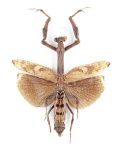 P. spurca 01B インドネシアブリード個体 カマキリ標本