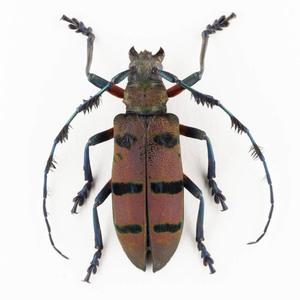 D. wallichi 02 カミキリ標本 ジャワ島