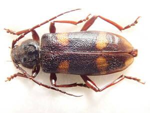 ●●超大型 スギカミキリ1ex. 野外採集品●●国産 日本産 日本産甲虫 国産甲虫 蟲 昆虫 甲虫 虫 カミキリ カミキリムシ 学術標本 標本