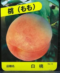 peach 白桃 苗木