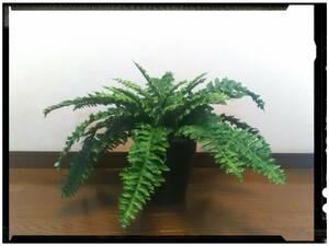 送料無料!花器付観葉植物 インテリアグリーンB81