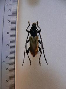 B65 カミキリムシ類 フィリピン Sibuyan島産 昆虫 甲虫 標本