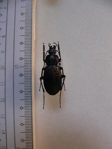 B101 イキツキヒメオサムシ 長崎県生月島産 昆虫 甲虫 標本