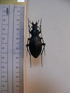 B106 オオオサムシ♀ 長崎県福江島 昆虫 甲虫 標本