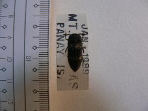 B79 甲虫 フィリピン パナイ島産 標本 昆虫 甲虫 ハナノミ?