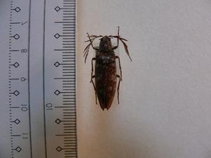 B85 コメツキムシ ネパール産 昆虫 甲虫 標本
