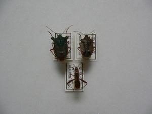 B119 カメムシ3頭 岡山県産 昆虫 甲虫 標本
