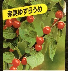赤実 ユスラウメ 苗木