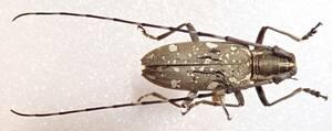 ●●ミヤコキボシカミキリ♂ 宮古島●●国産 日本産 日本産甲虫 国産甲虫 蟲 昆虫 甲虫 虫 カミキリ カミキリムシ 学術標本 標本