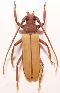 ●●ハチジョウトゲウスバカミキリ♂ 八丈島●●国産 日本産 日本産甲虫 国産甲虫 蟲 昆虫 甲虫 虫 カミキリ カミキリムシ 学術標本 標本