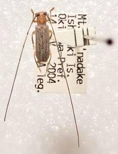 ●●イシガキイトヒゲカミキリ1ex. 石垣島●●国産 日本産 日本産甲虫 国産甲虫 蟲 昆虫 甲虫 虫 カミキリ カミキリムシ 学術標本 標本