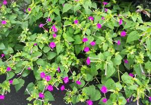 オシロイバナ種子50粒