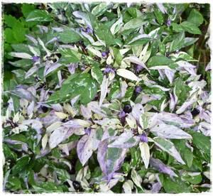 #175 トウガラシ カリコ 20粒 斑入り 紫