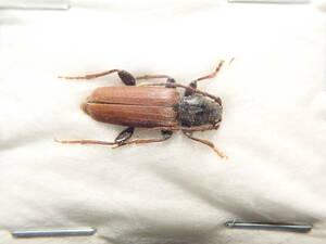 ●●トドマツカミキリ1ex. 北海道●●国産 日本産 日本産甲虫 国産甲虫 蟲 昆虫 甲虫 虫 カミキリ カミキリムシ 学術標本 標本