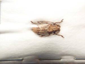 ●●ワモンサビカミキリ1ex. トカラ●●国産 日本産 日本産甲虫 国産甲虫 蟲 昆虫 甲虫 虫 カミキリ カミキリムシ 学術標本 標本
