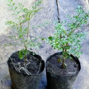◆育ててシンボルツリーに【シマトネリコ1本】15~20センチ程度 苗木 ポット 鉢植えガーデニング 抜き苗庭木・目隠し しまとねりこ