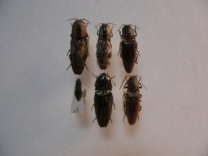 A44 コメツキムシ類6頭 フィリピン Palawan島産 標本 昆虫 甲虫