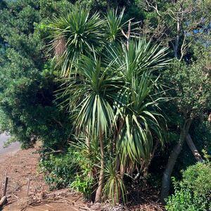 ドラセナ常緑樹南欧風南国ココスヤシヤシの木椰子ガーデニング訳あり