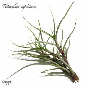 チランジア カピラリス (エアープランツ ティランジア capillaris)