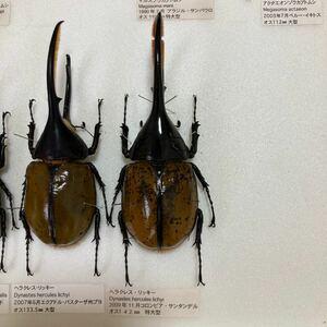 入手困難 142mm ヘラクレス リッキー コロンビア産 野外採取品 ワイルド品 ワイルド個体 カブトムシ 成虫 標本 送料無料