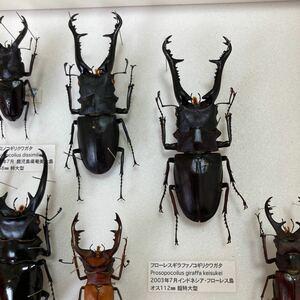 入手困難 野外品 フローレスギラファノコギリクワガタ 標本 2匹セット クワガタ 成虫 標本 ワイルド個体 ワイルド品 インドネシア産