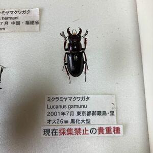 入手困難希少品 ミクラミヤマクワガタ 野外品 26mm クワガタ 成虫 標本 ワイルド品 ワイルド個体 御蔵島 採取