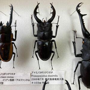 アマミノコギリクワガタ 68mm 成虫 標本 野外採取品 ワイルド個体 ワイルド品 クワガタ 奄美大島