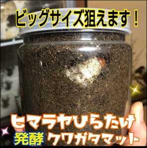 デカクなりすぎ注意!栄養価抜群のヒマラヤひらたけ菌床発酵マット!クワガタ、カブトムシどちらもOK!! 万能マット!幼虫の餌、産卵にも!