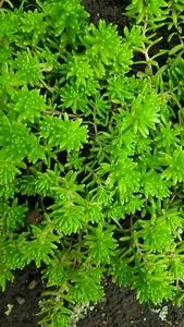多肉植物 モリムラマンネングサ 黄色い花のセダム カット苗 ゆうパケット分 大量 送料無料 下草に