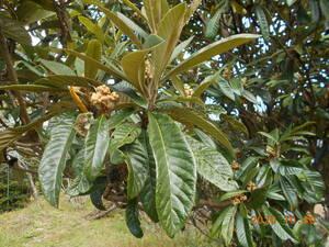 無農薬・ 枇杷の葉・ビワの葉・大自然な山奥で育った びわの葉(ばらつきあり) 450g