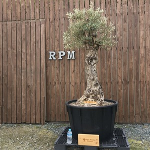 H6 スペイン産 樹齢150年~200年 大コブ オリーブ古木 福岡販売 『しなやかな樹形が魅力的なオリーブ古木』