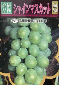 シャインマスカット 高級品種 葡萄 苗木