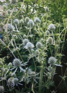 エリンジューム 花の種 30粒