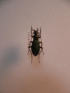 B95a アイヌキンオサムシ(ヒダカキン) アポイ岳産 昆虫 甲虫 標本
