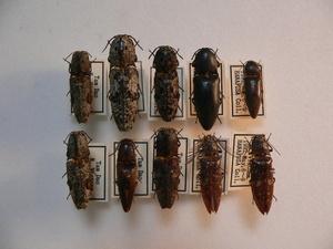 A52 コメツキムシ類10頭 ベトナム北部 タムダオ産 昆虫 甲虫 コメツキムシ 標本
