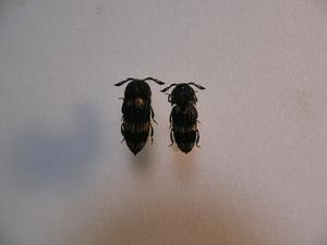 A55 タイ北部チェンマイ産2頭 昆虫 甲虫 コメツキムシ?  ハナノミ? 標本